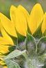 SunFlower_D726488
