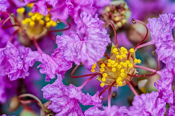 CrepeMyrtle_NZ75707x45(C,Smoothing3)