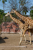 Giraffes at the Gladys Porter Zoo in Brownsville, Texas, USA.