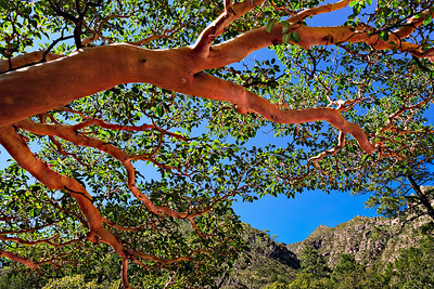Madrone tree branches stretch across the McKittrick Canyon trail.