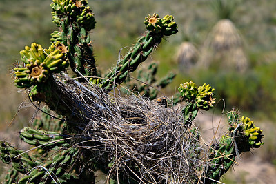 Nest in Cholla cactus