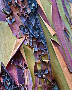 Madrone tree- peeling bark - McKittrick Canyon