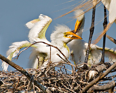 "Great Egret - Chicks Feeding - June, 2006 ""Sibling Rivalry"""