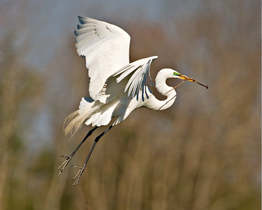 Great Egret - Twig Hunt - Clay Bottom Pond Rookery - March 2006