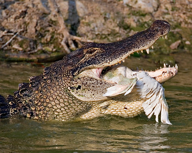 Gator Snack Egret got too close to the water