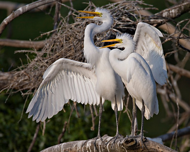 Juvenile Great Egrets - June '07