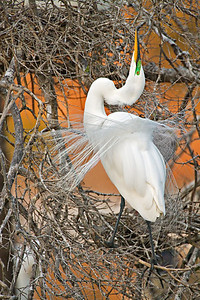Great Egret - Mating Display - Clay Bottom Pond Rookery - March 2006