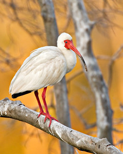 White Ibis - Suset - Clay Bottom Pond Rookery