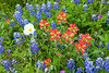 A variety of wildflowers in Texas hill country near Burnett, Texas, USA.