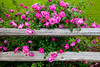 Deep pink roses and a rustic old fence at the Junction House restaurant in Kingsland, Texas, USA.