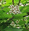 April - Flowering Catalpa Tree