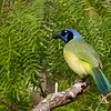 Green Jay, April 22, 2011, King Ranch