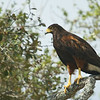 Harris' Hawk, April 22, 2011, King Ranch