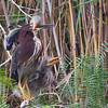 Green Heron, one very insistent juvenile!, April 23, 2011, Estero Llano Grande State Park