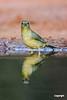 PaintedBuntingFemale_SantaClaraRanch_D728863