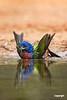 PaintedBuntingMale_SantaClaraRanch_D728100