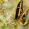 butterfly, Estero Llano Grande, April 23, 2011