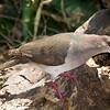 White-tipped Dove, Sabal Palm, April 24, 2011