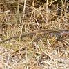 Whiptail, Estero Llano Grande, April 23, 2011