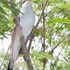 Yellow-billed Cuckoo, Sabal Palm, April 24, 2011