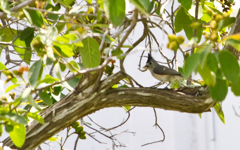 Black-crested Titmouse, King Ranch, April 22, 2011