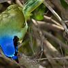 Green Jay, Sabal Palm, April 24, 2011