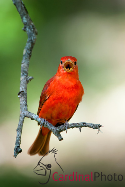 Hill Country Texas Bird Photo Workshop Scenics and Summer Tanager