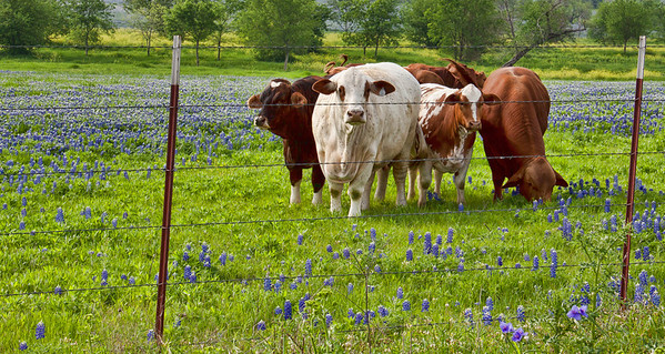 2012 - Ennis, Texas, grazing in the bluebonnets