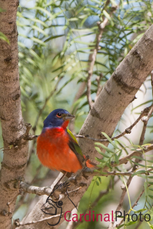 Painted Bunting Crop for the How much can you crop blog post