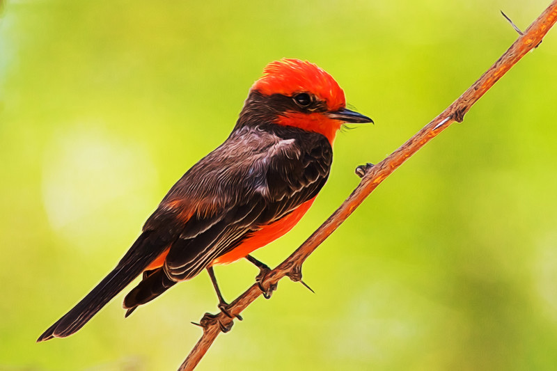 Cottonwood Campground - Vermilion Flycatcher - Male