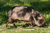 Chinese New Year of the Pig - aka Javelina