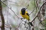 AudubonOriole_D721187
