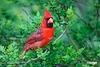 CardinalM_D732423