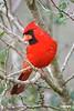 CardinalM_D721249