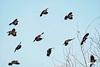 RedwingedBlackbirds_D720749