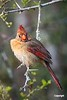 CardinalF_D721662