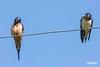 BarnSwallow_D721753