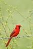 CardinalM_D737336