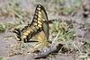 GiantSwallowtail_D724128