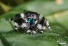 JumpingSpider_D719636