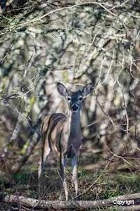Deer_D720881