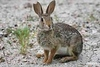 Hare_D725295