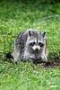 Raccoon_D737552_1