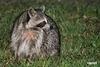 Raccoon_D721914