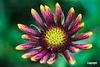 Wildflower_D718896