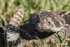 Rattlesnake_D722660