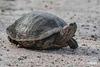 Turtle_D737655