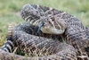 Rattlesnake_D733009