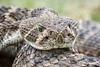 Rattlesnake_D733428_2