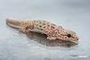 Gecko_D723291